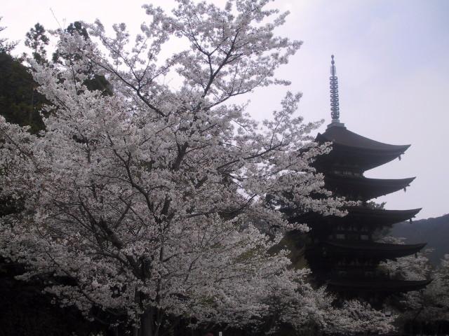 満開の桜に囲まれる瑠璃光寺五重塔